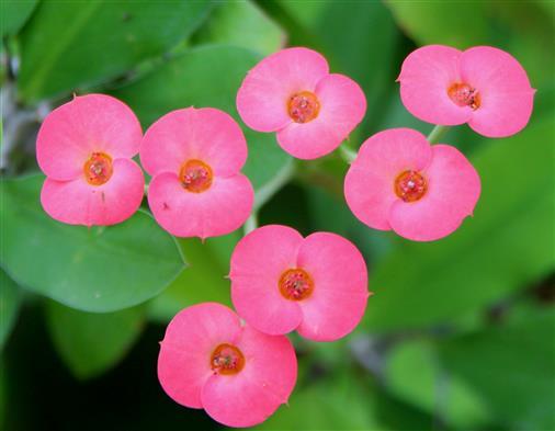Südafrikanische Euphorbien-Art (Euphorbia milii)