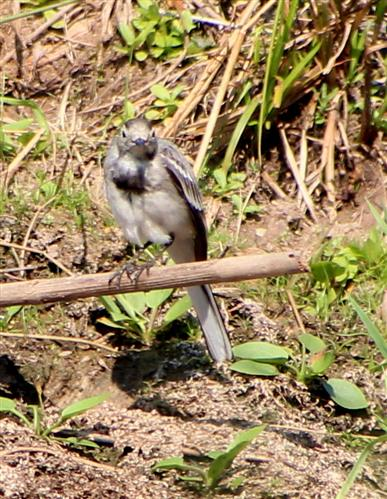 Bachstelze (Motacilla alba) im Jugendkleid auf Ansitzjagd