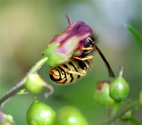 Gemeine Wespe (Vespula vulgaris) an Braunwurz