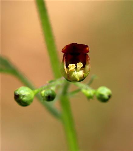 Knotige Braunwurz Blüte (Scrophularia nodosa)