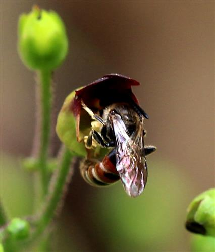 Drohn der Furchenbiene (Lasioglossum calceatum) an Braunwurz