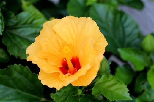 Hibiscus gelb / rot