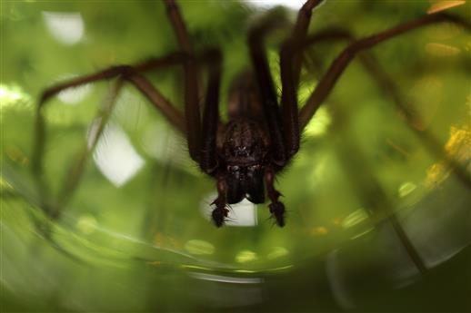 Hauswinkelspinne Mann (Tegenaria domestica) im Glas