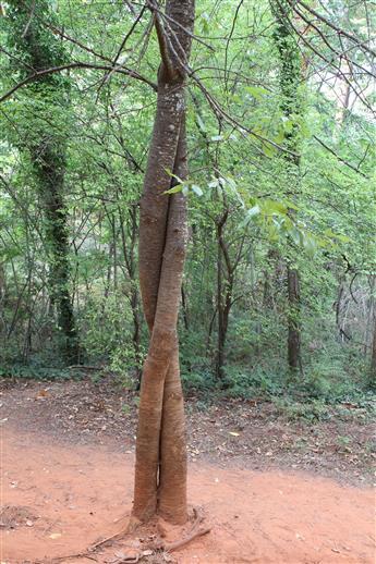 Knutschende Bäume