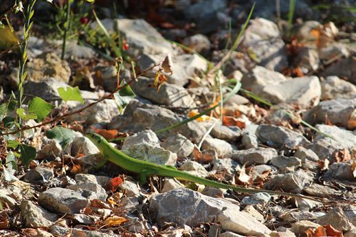 Smaragdeidechse (Lacerta bilineata) kreuzt den Weg