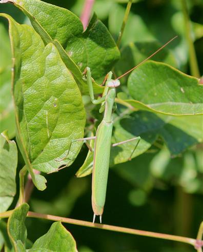 Herr Gottesanbeter (Mantis religiosa)