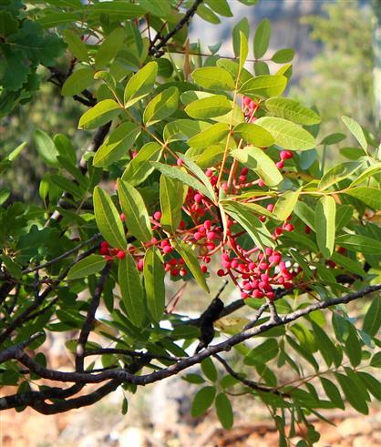 Terpentin - Pistazie (Pistacia terebinthus)
