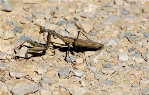 Gottesanbeterin (Mantis religiosa) kreuzt meinen Weg
