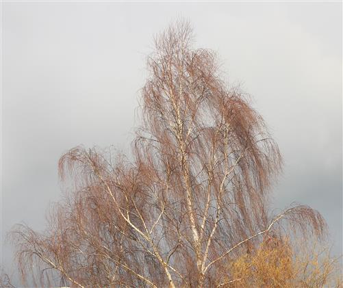 Hängebirke (Betula pendula) im Spätherbst