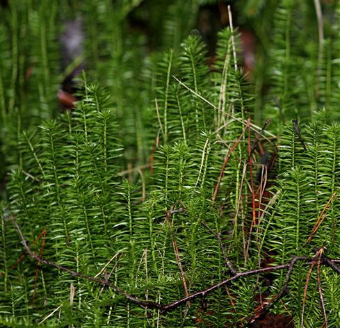Bärlapp (Lycopodium annotinum)