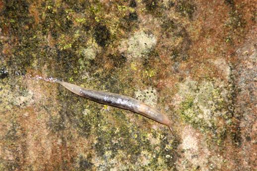 Baumschnegel (Lehmannia marginata)