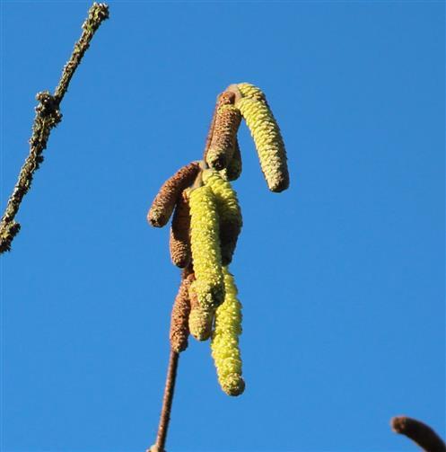 Haselblüte, männlich (Corylus avellana)
