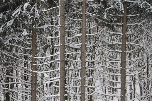 Fichtenwald beschneit