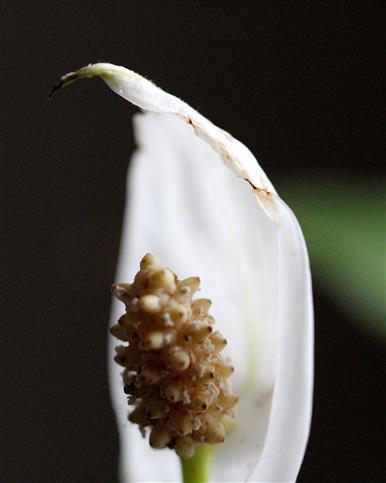 Einblatt (Spathiphyllum) Blüte