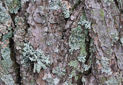 Borkenlandschaft mit Sulcatflechte (Parmelia sulcata)