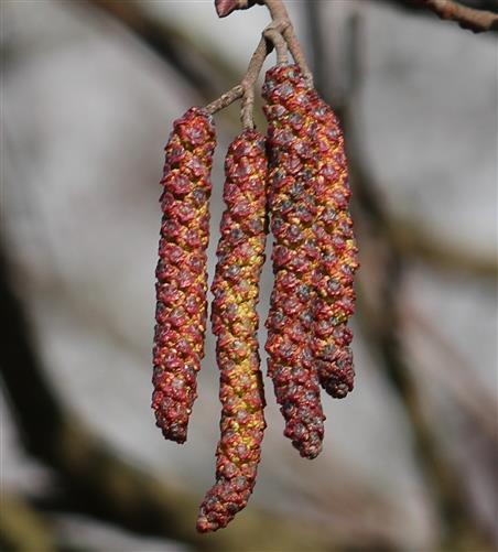 Männliche Blüten der Grau-Erle