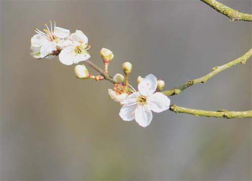 Die ersten Schlehenblüten öffnen sich