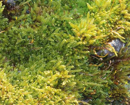 Wolfsfußmoos (Anomodon viticularis)