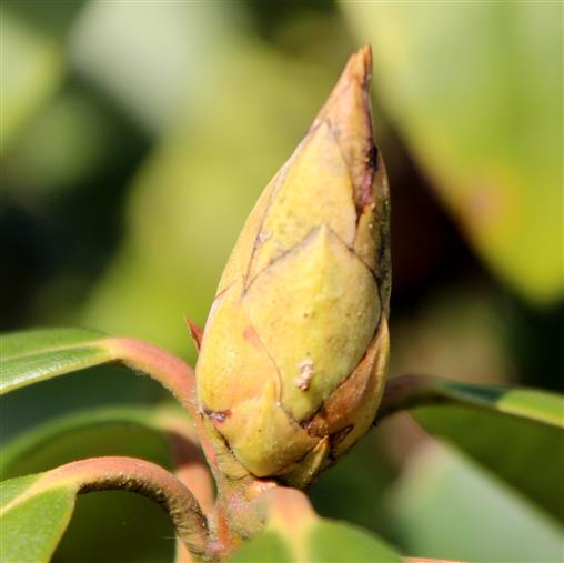 Rhododendron - Blütenknospe