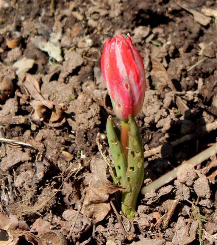 Etwas angefressene Tulpe