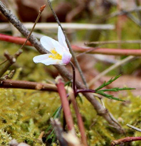 Anemone (A. nemorosa) blüht auf