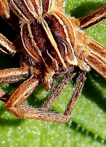 Cephalothorax der Listspinne (Pisaura mirabilis)