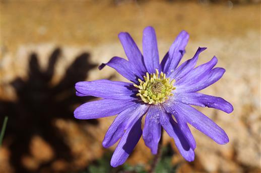 Balkan-Anemone (Anemone blanda)