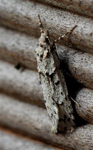 Pfeileule (Acronicta spec.)
