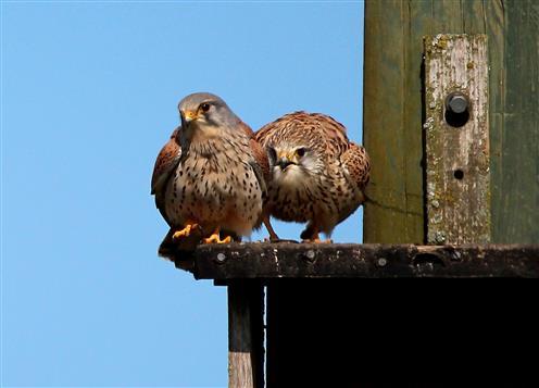 Turmfalkenpaar (Falco tinnunculus)