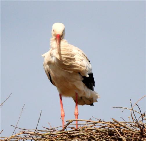(noch) einsamer Storch