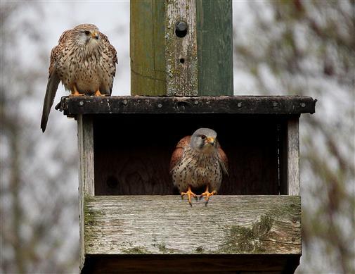 Turmfalkenpaar (Falco tinnunculus) am Nistplatz