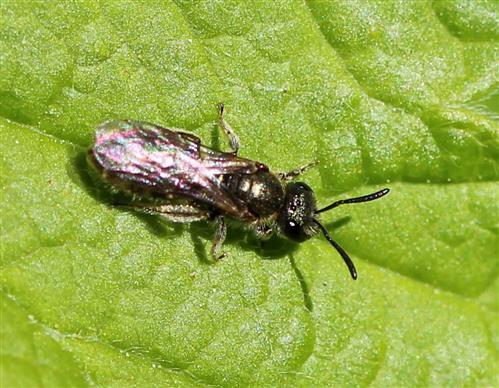 Furchenbiene, wahrscheinlich Halictus subauratus