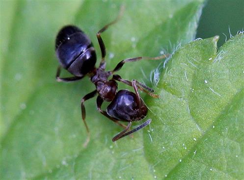 Ameise (Lasius spec. ?) frisst Pollenkörner