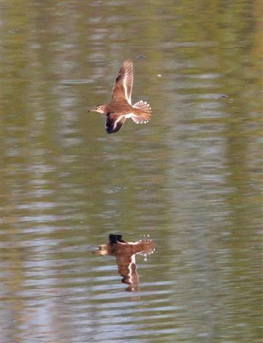 Flussuferläufer (Actitis hypoleucos) fliegt