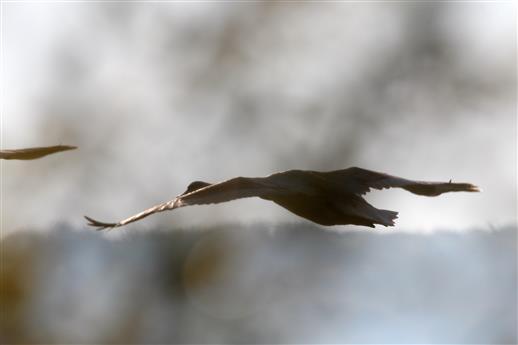 Jungschwan fliegt