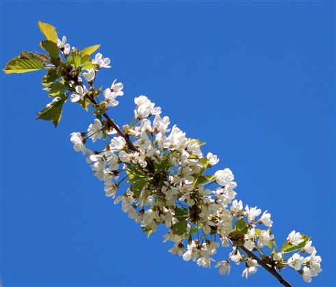Kirschblütenhimmel