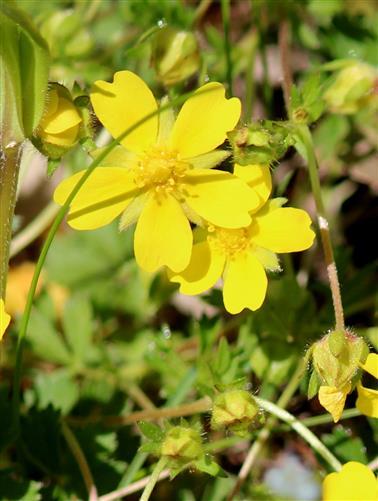 Frühlings-Fingerkraut (Potentilla neumanniana)