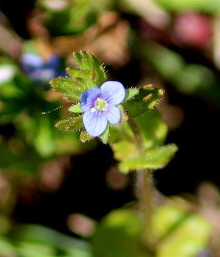 Efeublättriger Ehrenpreis (Veronica hederifolia)
