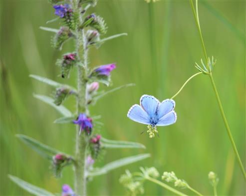 Blautöne: Himmelblauer Bläuling und Natternkopf