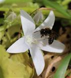 Glockenblumen-Sägehornbiene (Melitta haemorrhoidalis)