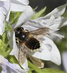 Totholz - Blattschneiderbiene (Megachile willoughbiella)