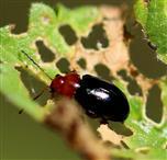 Podagrica fusicornis (Chrysomelidae)