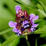 Kleine Braunelle (Prunella vulgaris)