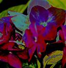 Hortensien-Farbspielerei