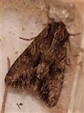 Eulenfalter (Apamea spec.)