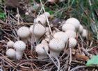 Flaschenstäubling (Lycoperdon perlatum)