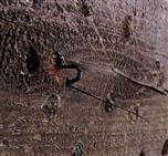 Schlupfwespe (Ephialtes manifestator ?) bei Eiablage