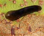 Raupe der kleinen Lindenblattwespe (Caliroa annullipes)