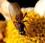 Kleine Fliege auf Marguerite