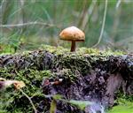 Pilz (Psathyrella piluliformis?) in aussichtsreicher Position